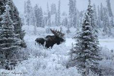Moose. Photo taken near Glennallen, Alaska.