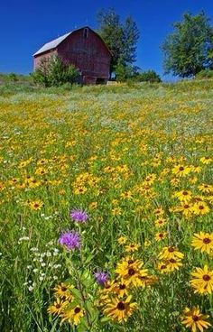Lovely field of flowers with barn