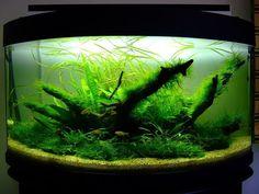 70L planted aquarium - Aquascaping - Aquatic Plant Central Nature Aquarium, Aquarium Ideas, Aquarium Design, Planted Aquarium, Corner Aquarium, Aquarium Accessories, Paludarium, Beautiful Fish, Fish Tanks