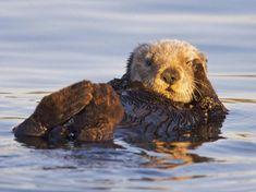 High resolution animals desktop wallpaper of California Sea Otter, Monterey Bay Marine Sanctuary, California (ID: Baby Animals, Funny Animals, Cute Animals, Animal Babies, Beautiful Creatures, Animals Beautiful, Otters Cute, Otter Love, Sea Otter