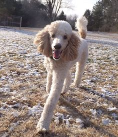 Poodle The Adorable Dog - The Pooch Online Best Dog Breeds, Best Dogs, I Love Dogs, Cute Dogs, Poodle Cuts, Dog Pictures, Dog Photos, Pitbull Terrier, Little Dogs