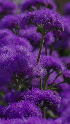 flowers, purple, plant