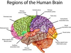 Image result for bing - pictures of the brain