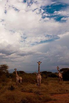 Beautiful Giraffes in Kenya..love to go. giraffes are my fav