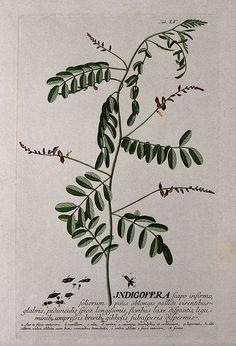 indigofera tinctoria illustration - Google Search