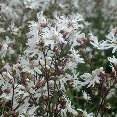 lychnis white robin - Google Search