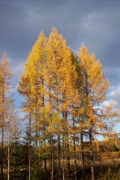 Ruska / autumn colours. Photo by @raitapaita taken Hammaslahti #Finland 9.10.11