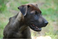 Mackenzie is an adoptable Weimaraner mix Dog in Richmond, VA. Mackenzie is a 14 week old Weimaraner/sharpei mix. She and her brother Maverick were surrendered to a vet clinic in rural AL when their owner ...