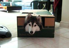 Cachorra acha que é uma gata depois de ser criadas por felinos