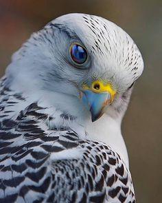 Falcon - Photo by ©Scott McDaniel