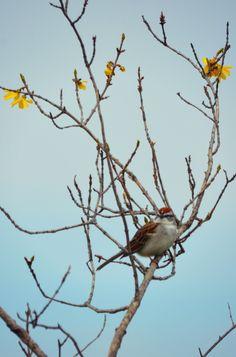 Chipping Sparrow ~ Kosciusko County Indiana ~ Brandace Myers 2015
