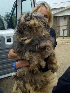 Somewhere under knotted fur is a dog that was one of over 50 dogs rescued yesterday during the raid of an Amish puppy mill breeder. THIS is what you support when you purchase from a puppy mill breeder or a retailer that purchases the dogs they sell from a puppy mill. STOP PUPPY MILLS!!!!!  Amish = greed