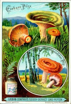 1900. Edible Fungi (No. 4) trading card issued by Liebig Extract of Beef Company. S631.