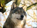 Eurasian wolf (Canis lupus lupus) Lobo from Prague Zoo (Czech Rep.). Lobo is the alpha male and leader of the pack. EDIT 18.1.2013 added new signature, optimized for web display More photos of eura...