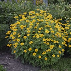 Proven Winners - 'Tuscan Sun' - Perennial Sunflower - Heliopsis helianthoides yellow golden yellow plant details, information and resources. Yellow Plants, Sun Plants, Real Plants, Hardy Perennials, Flowers Perennials, Sunflowers And Daisies, Yellow Flowers, Garden Border Plants, Perennial Sunflower
