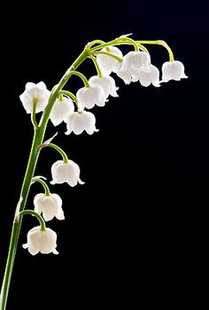 Lily of the Valley (May birth flower)