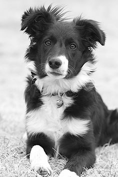 Border #Collie / Scottish Shepherd #Dogs #Puppy
