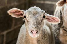 #lamb #nature #sheep #love #beauty #cordero #myphotos