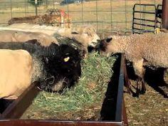 Raising Sheep & Goats For Profit - Part 4