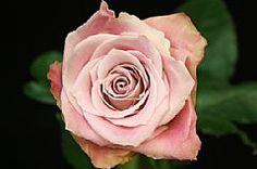 faith Rose - Google Search