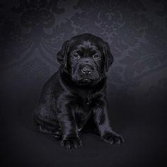Gru- little black labrador retriever puppy