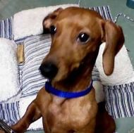 Virginia Rose (DE) is an adoptable dachshund searching for a forever family near Dover, DE. Use Petfinder to find adoptable pets in your area. Adoptable Dachshund Dog, Dachshund Adoption, Mini Dachshund, Dachshund Puppies, Pet Finder, Scooby Doo, Searching, Shelter, North America