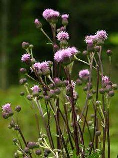 Pelto-ohdake, Cirsium arvense - Kukkakasvit - LuontoPortti Love Flowers, Finland, Natural Beauty, Scenery, World, Garden, Nature, Plants, Life