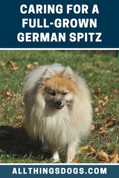 German Spitz colors have a stunning range. They come in black, white, brown, cream, grey with black tips and orange. Read our breed guide for more details on their coat and appearance. Spitz Puppy, Spitz Dogs, German Spitz, German Dogs, Mutt Puppies, Rottweiler Puppies, Dog Quilts, Miniature Dogs, Most Popular Dog Breeds
