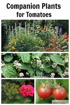 Tomato Companion Plants, Companion Planting, Potager Garden, Garden Pests, Vegetable Garden Design, Vegetable Gardening, Gardening Tips, Greenhouse Gardening, Organic Weed Control
