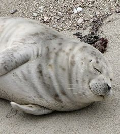 Harbor Seal Facts - Seal Conservancy of San Diego | Seal ...