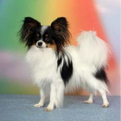 Papillion - Click image to find more Animals Pinterest pins