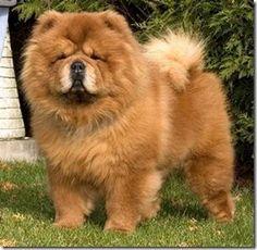 """Tambien hay """"Chou Chou Leon""""son lo más! tienen el pelaje de un leo!, hasta el color, no lo puedo creer! quiero uno!!!"""