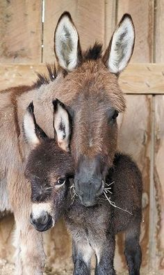 Mommy & Baby Donkey-A Texas Girls Favorites Baby Donkey, Cute Donkey, Mini Donkey, Baby Cows, Baby Elephants, Nature Animals, Farm Animals, Animals And Pets, Wild Animals