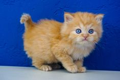 Ragdoll Kitten for Sale Near Me. We Have Outstanding Variety of Loving Ragdoll Kittens For Sale. Newborn Ragdoll Kittens and Adult Cats Ragamuffin Kittens, Ragdoll Kittens For Sale, Munchkin Kitten, Kitten For Sale, Cats For Sale, Kittens Cutest, Cats And Kittens, Teacup Kitten, Litter Box