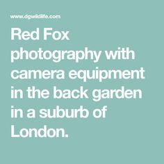 Red Fox photography with camera equipment in the back garden in a suburb of London.