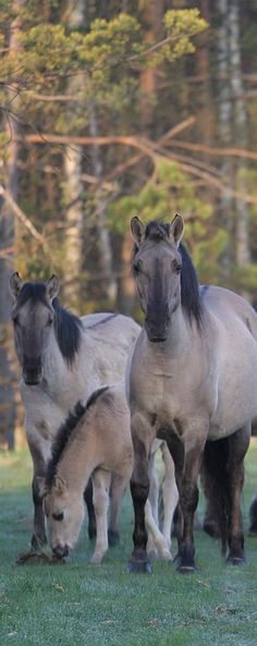 The Polish Horse the 'Konik Polski' - It is a breed of primitive horse in Poland in Roztocze National Park.