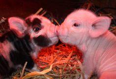 Piggy kiss!