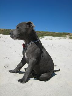 Beach Staffy.....we have one of these too,our lovely Sasha!!xxx