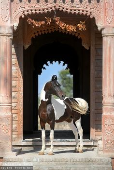 The Marwari or Malani is a rare breed of horse from the Marwar region of India. Known for its inward-turning ear tips, it comes in all equine colours