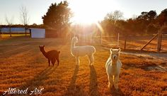 https://flic.kr/p/SzeuEH | Alpacas at a farm in Preston, MD | Taken of the animals at a small farm in Caroline County on Maryland's eastern shore.