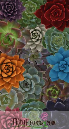 New Succulents at FiftyFlowers! http://blog.fiftyflowers.com/new-succulents-at-fiftyflowers/