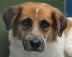 PRINCESS-ID#A677483    My name is PRINCESS.    I am a spayed female, white and brown Australian Shepherd mix.    The shelter staff think I am about 3 years old.    I have been at the shelter since Oct 23, 2012.