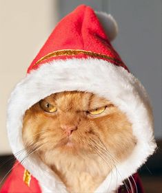 Move over Grumpy Cat, the internet has a new sensation: a Persian cat named Garfi, better known as Angry Cat. Living in Turkey with his owner Hulya Ozkok Funny Cats, Funny Animals, Cute Animals, Animals Images, Christmas Animals, Christmas Cats, Merry Christmas, Christmas Mood, Gato Gif