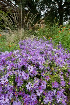 Fall Aster (Symphyotrichum oblongifolium).  Starts flowering in our fields in mid August and lasts 'til frost...  Such a pretty colour....