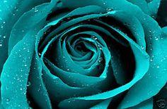 Turquoise Rose - Bing Images