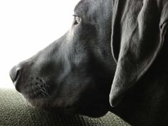 About Blue Weimaraners