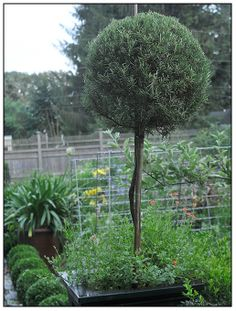 how to train rosemary topiary from a cutting.  http://www.growingwithplants.com