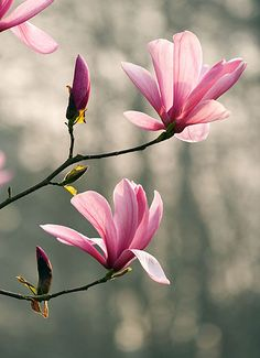 Magnolia galaxy. Spring, bloom, pink, tree deciduous