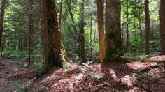 Old growth Sugar Maples. Western Massachusetts, by Ray Asselin.