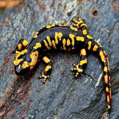 Саламандра (фото): Миниатюрный дракончик с богатой историей Смотри больше http://kot-pes.com/salamandra-foto/